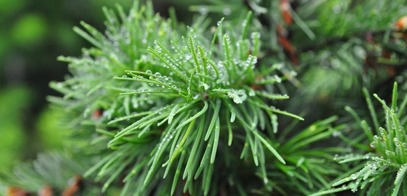 Как правильно ухаживать за хвойными растениями