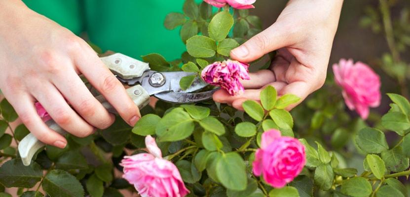 Советы по обрезке роз